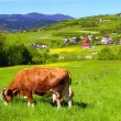 A cow on a green pasture - Stock Photo
