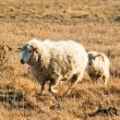 sheep — Stock Photo #10644175