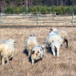 Sheep — Stock Photo #10644253