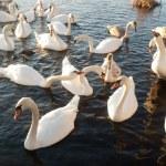 Swan — Stock Photo #8780771