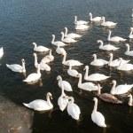 Swan — Stock Photo #8780874