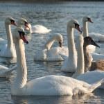 Swan — Stock Photo #8834393