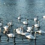Swan — Stock Photo #8834520
