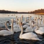 Swan — Stock Photo #8835213