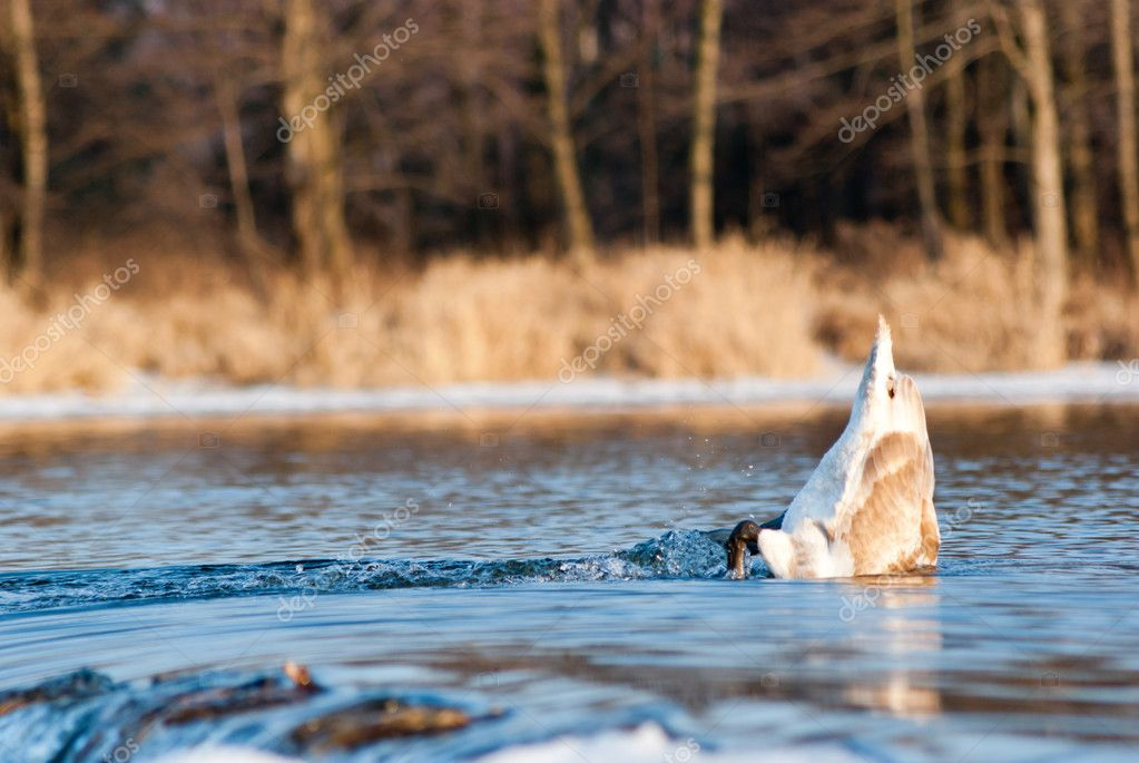 Swan on blue lake water in sunny day, swans on pond, nature series  Stock Photo #9011642