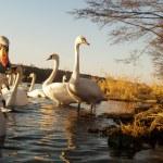 Swan — Stock Photo #9380444