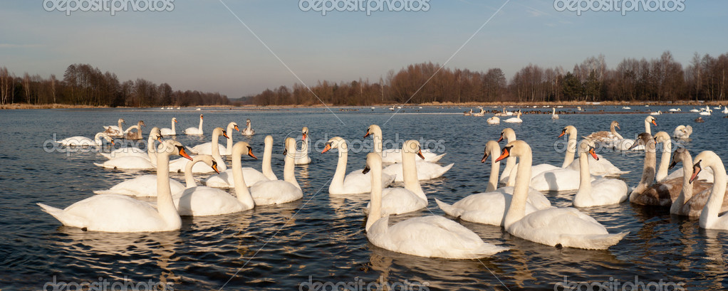 Swan on blue lake water in sunny day, swan on pond — Stock Photo #9753370