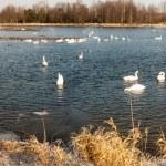 Swan — Stock Photo #9791194