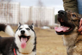 Two dogs after walk — Stock Photo