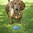 Brown dachshund - Stock Photo