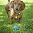Stock Photo: Brown dachshund