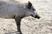 特写野猪. — 图库照片