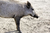 Closeup wild boar. — Stockfoto