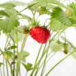 Wild strawberry berries — Stock Photo