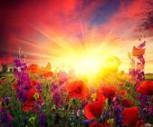 Field of flowering poppies — Stock Photo