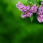 Pink flowers on a green background — Стоковое фото