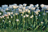 Tulipes blanches — Photo