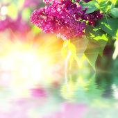 盛开的丁香花 — 图库照片