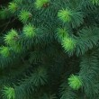 Texture of young fir — Stock Photo