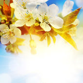 Background for design with a blossoming branch of a cherry — Stock Photo