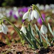 Blossoming crocuses and snowdrops — Stock Photo #9511405