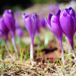 Blossoming crocuses and snowdrops — Stock Photo