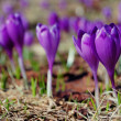 Blossoming crocuses and snowdrops — Stock Photo #9647553