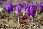 цветущие крокусы и подснежники — Стоковое фото