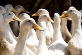 Village ducks — Stock Photo
