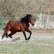Brown stallion - Stock Photo