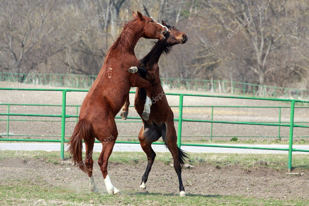 Two broun stallions battle in the farm yard  Stock Photo #9764717