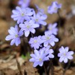 Hepatica Nobilis - first Spring flower — Stock Photo