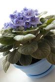 Flowerpots - violet violets — Stock Photo