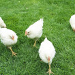 Farmer  white chickens — Stock Photo