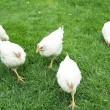 Farmer white chickens — Stock Photo #10609483