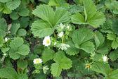 Flowering of spring strawberry — Stock Photo