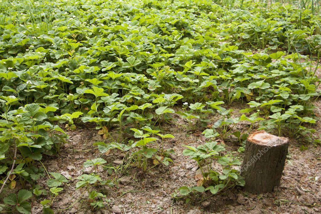 春季草莓生长发育是在一个农夫花园