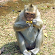 Angkor monkey — Stock Photo