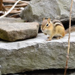 Stock Photo: Chipmunk
