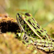 Stock Photo: Northern Leopard Frog