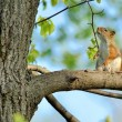 Red Squirrel — Stock Photo #10538758