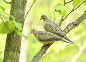 Mourning doves — Stock Photo