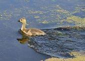 Canada Goose Gosling — Foto Stock
