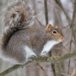 Gray Squirrel — Stock Photo #8616134