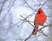 Cardinal Male — Stock Photo