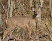 Whitetail Dee Doe — Stock Photo