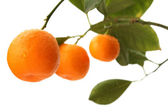 Orange tree branch — Stock Photo