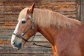 Porträtt av en häst i en profil — Stockfoto