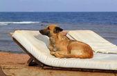 Dog on sunbed near the sea — Stock Photo