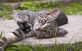 Kitten playing — Stock Photo